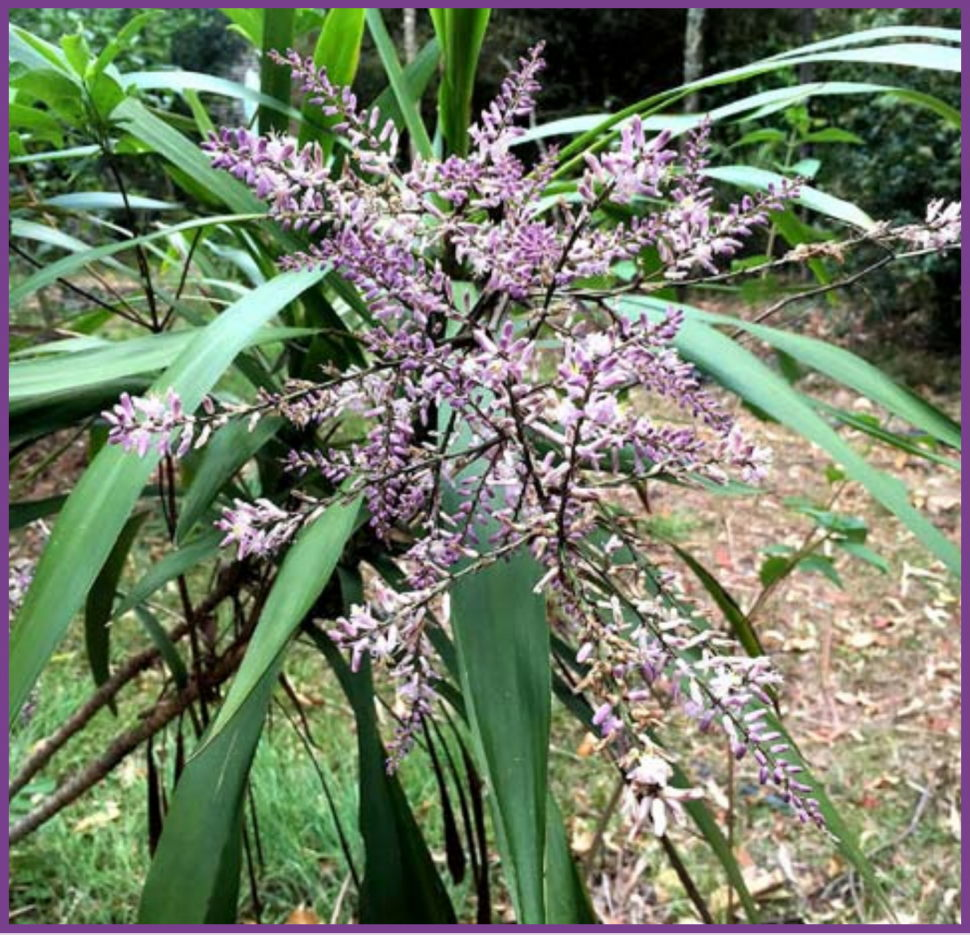 Cordyline stricta, Palm Lily, in flower